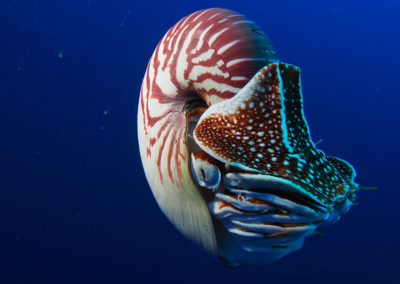 nautilus-endangered-photos