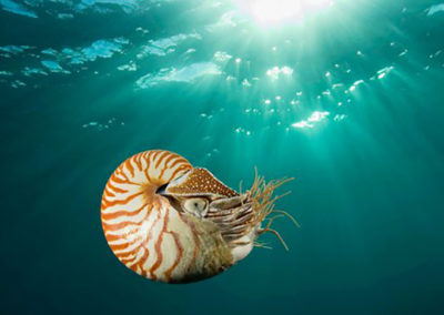 nautilus-endangered-species
