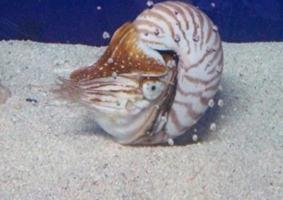 save-the-endangered-nautilus