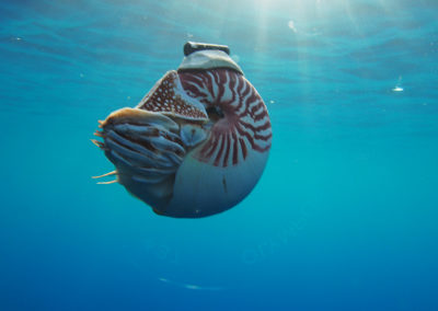 save-the-nautilus-species
