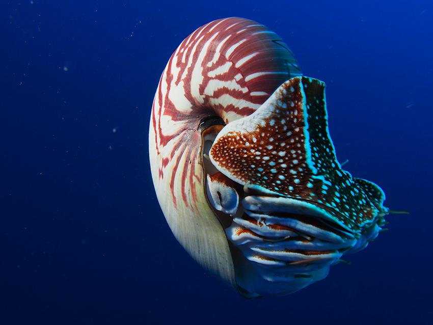 nautilus-endangered-photos